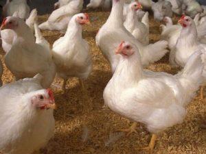 курицы яйца