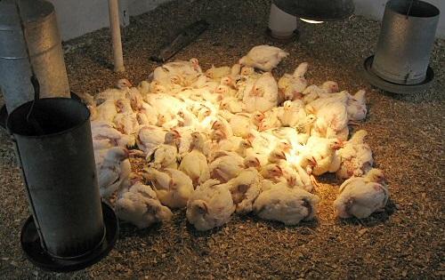 Выращивание цыплят с несушкой 275