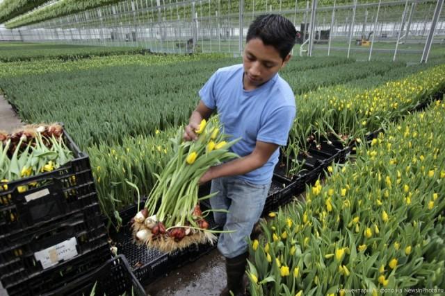 Выращивание тюльпанов для продажи 85